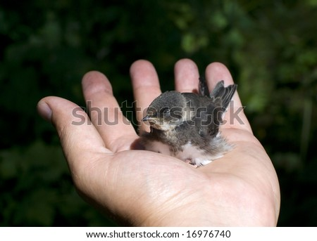 baby swift bird in the hand