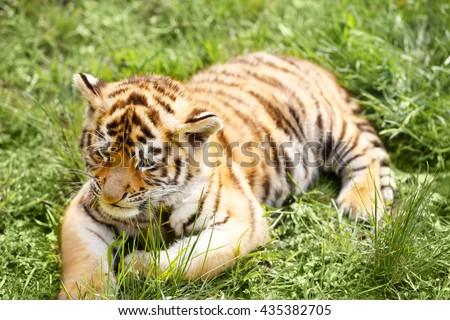 Baby tiger lying on grass #435382705
