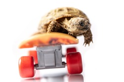 Baby tortoise turtle on a skateboard on a white background