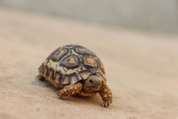 Baby turtle alone on the cement.
