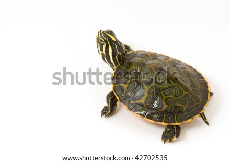 Baby Turtle isolated on a white background.