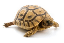 baby turtle isolated on white