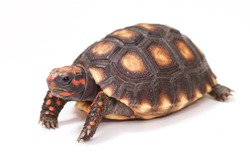 Baby turtle. little turtle. Cherry Head Red-footed Tortoise. turtle isolated on white background.