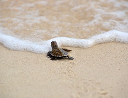 Baby turtle prepare to head for the sea