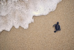 Baby turtle released for first time to beach.