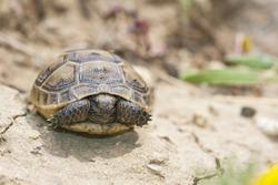 Baby turtle, the spur-thighed tortoise (or Greek tortoise) (Testudo graeca) is one of five species of Mediterranean tortoise; resting, sleeping on rock