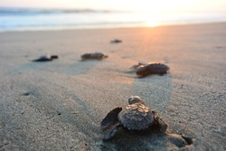 Baby turtles doing their first steps to the ocean. This is the beach of Playa Azul, in Lazaro Cardenas, Mexico