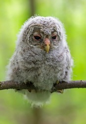 Baby Ural owl (Strix uralensis) in the wild near the nest. The Ural owl (Strix uralensis) is a fairly large nocturnal owl family Strigidae.