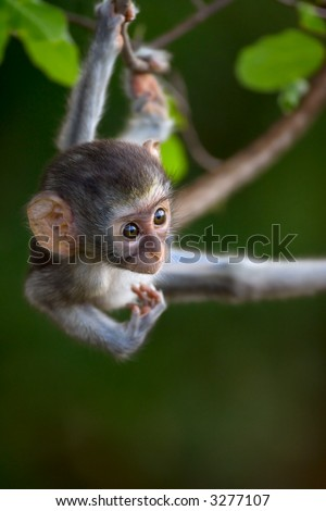 Baby Vervet monkey hanging from branch; Cercopithecus Aethiops; South Africa