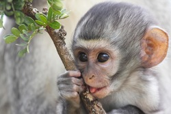 Baby vervet monkey licking and holding branch, Addo Elephant National Park, South Africa