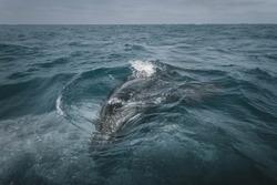 Baby Whale with mom. Grey Whale birthing area. Laguna ojo de liebre. Guerrero Negro. Baja California Sur. Mexico.