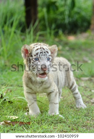 baby white bengal tiger standing on green grass