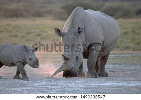 BABY WHITE RHINO WITH ADULT MOTHER ON DUSTY SURFACE AT SUNDOWN IN AFRICA #1490338547