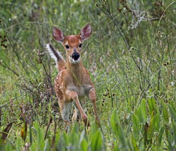 baby white tailed deer fawn running and looking excited at camera in marsh full of pickerel weed