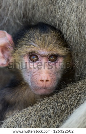 Baby yellow baboon