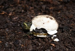 baby Yellow headed Temple Turtle hatching from egg with natural background.