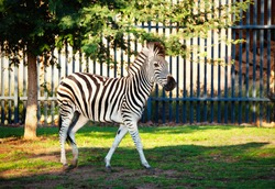 baby zebra at the zoo locked in a cage