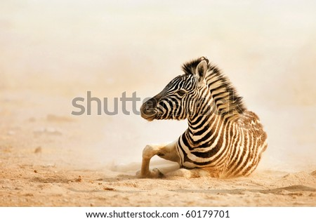 Baby zebra lying on dusty desert sand with early light; Etosha