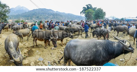 BAC HA, LAO CAI, VIETNAM - 8th, December, Bac Ha market cattle, this is the biggest cattle market of Lao Cai province, Vietnam
