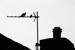 Back and white pigeon bird standing on an antenna next a chimney