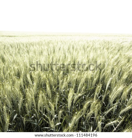 back-lighted green wheat field - stock photo