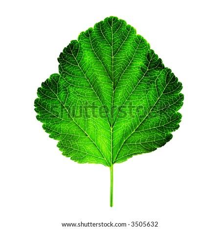 back-lit shot of a fresh green leaf on a white background