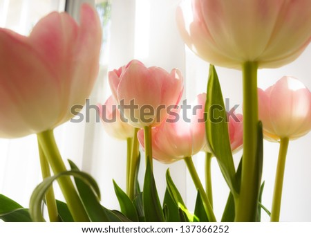 Back lit tulips against window in a sunny day. High key interpretation.