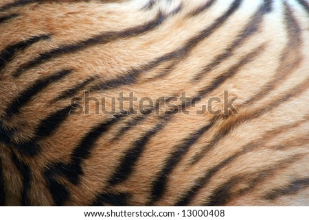 Back of a Tiger showing the sweeping striped texture of its fur