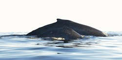 Back of Humpback whale mother and baby cub.  Whales swimming in the Pacific ocean water.  (Megaptera novaeangliae)