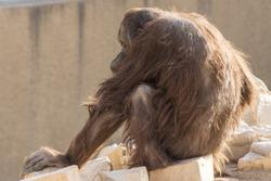 back of old monkey