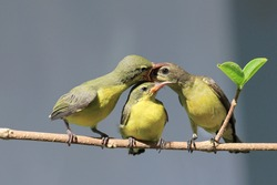 Back Olive Sun-bird feeding new born chicks