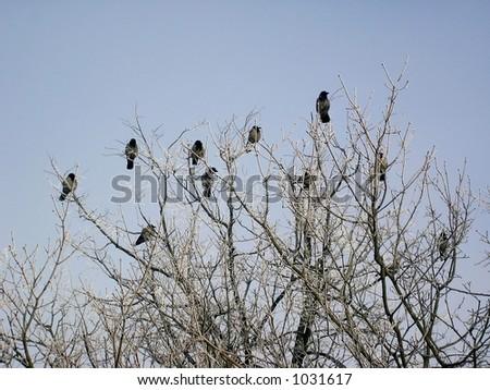 Back ravens in tree.