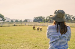 Back side of Female farmer working and looking on Sheep farm.,Agriculture mature female farmer standing against Sheep in stable or farm countryside.