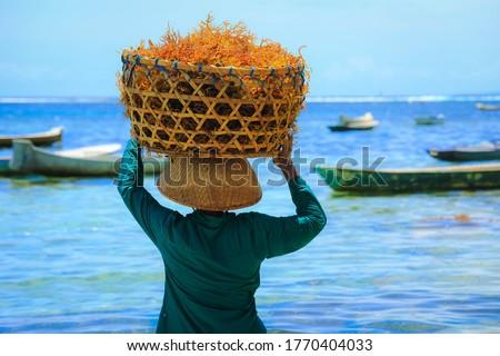 Back side of woman carry a basket of orange seaweed on her head at seaweed farm Nusa penida island in Bali, Indonesia