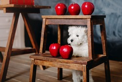 Back to school concept. West Highland White Terrier puppy with school supplies. Education and learning concept.