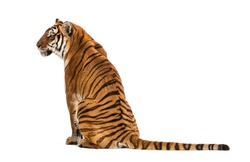 Back view of a Tiger sitting, isolated on white