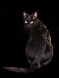 Back view of black cat sitting on black background with face turned to the viewer