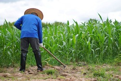 Back view of farmer is working at green corn field. Concept : Organic agriculture. Using hoe to get rid weed instead of using chemical substance or herbicide. Stop air pollution and global warming.
