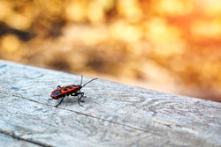 Back view of firebug, Pyrrhocoris apterus on wood trunk. Copy space, selective focus.