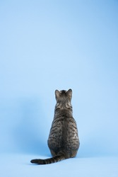 Back view of gray striped cat sitting on blue background.