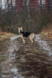 Back view of mixed breed wet shepherd dogs standing on dirty countryroad