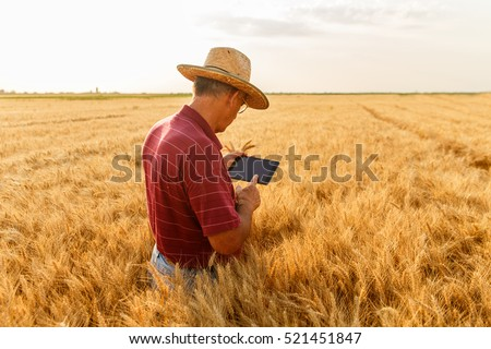 Back view of senior farmer standing in a wheat field with a tablet and examining crop.
