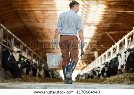 Back view portrait of modern farm worker  holding bucket crossing sunlit cow shed, copy space