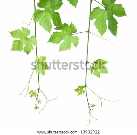 backdrop of grape or vine leaves isolated on white background.