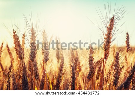 backdrop of ripening ears of golden wheat field on the sunset.  sun rays on horizon.  landscape of sunrise in rural. Close up. rich harvest. retro style. vintage creative effect #454431772