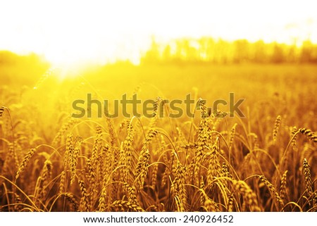 backdrop of ripening ears of yellow wheat field on sunset orange sky background of setting sun on horizon Idea of raw materials for food, rich harvest home heavy crop, harvesting, golden sunny spike #240926452