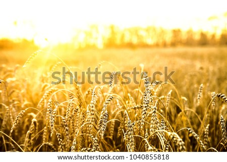 backdrop of ripening ears of yellow wheat field on the sunset cloudy orange sky background. Copy space of the setting sun rays on horizon in rural meadow Close up nature photo Idea of a rich harvest #1040855818