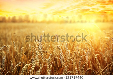 backdrop of ripening ears of yellow wheat field on the sunset cloudy orange sky background Copy space of the setting sun rays on horizon in rural meadow Close up nature photo  Idea of a rich harvest #121719460