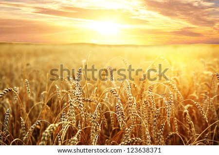 backdrop of ripening ears of yellow wheat field on the sunset cloudy orange sky background Copy space of the setting sun rays on horizon in rural meadow Close up nature photo  Idea of a rich harvest #123638371