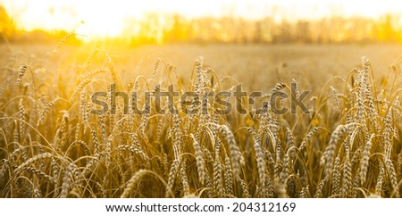 backdrop of ripening ears of yellow wheat field on the sunset cloudy orange sky background Copy space of the setting sun rays on horizon in rural meadow Close up nature photo  Idea of a rich harvest #204312169